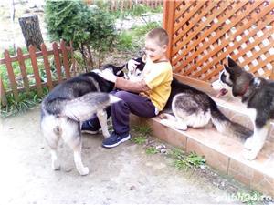 Pui superbi de Husky siberian.,  - imagine 10