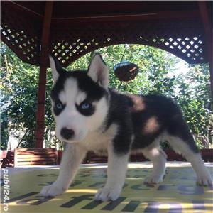 Pui superbi de Husky siberian.,  - imagine 2