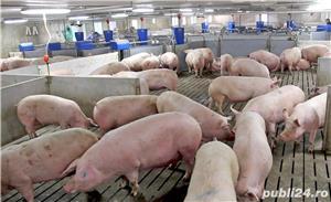 carcasa proaspata porc romanesc rasa carne , parlita tradițional - abator Ploiești   - imagine 2