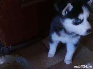 Pui superbi de Husky siberian.,  - imagine 14