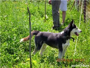 Pui superbi de Husky siberian.,  - imagine 12