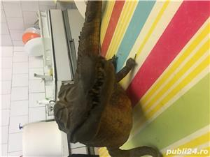Crocodil impaiat - imagine 2
