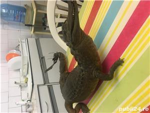 Crocodil impaiat - imagine 3