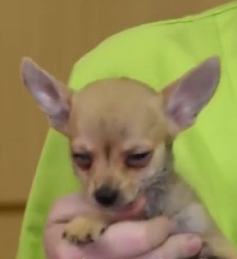 Chihuahua de vânzare - imagine 2