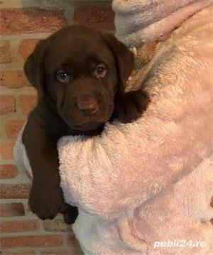Vand labrador retriever/retriver pe ciocolatiu!! - imagine 1