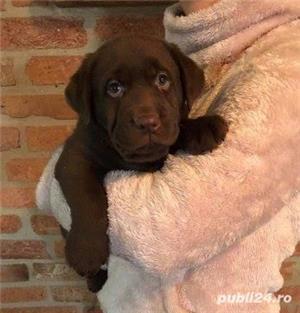 Vand labrador retriever/retriver pe ciocolatiu!! - imagine 3