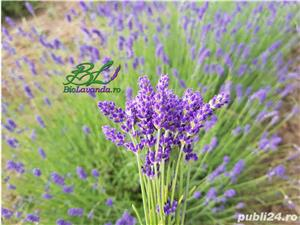 Lavanda Bluescent - promotie de toamna - imagine 5