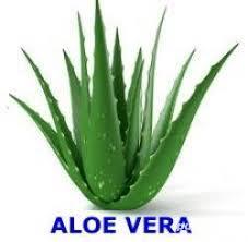 Aloe vera, barbadensis Miller de 2 Ani = 100 Lei oriunde in Romania prin Fan curier  - imagine 3