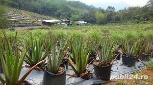 Aloe vera, barbadensis Miller de 2 Ani = 100 Lei oriunde in Romania prin Fan curier  - imagine 17