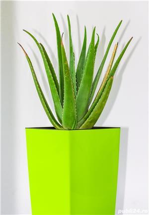 Aloe vera, barbadensis Miller de 2 Ani = 100 Lei oriunde in Romania prin Fan curier  - imagine 1