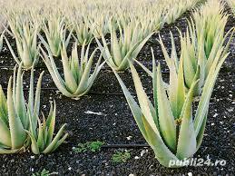 Aloe vera, barbadensis Miller de 2 Ani = 100 Lei oriunde in Romania prin Fan curier  - imagine 10