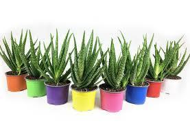 Aloe vera, barbadensis Miller de 2 Ani = 100 Lei oriunde in Romania prin Fan curier  - imagine 16