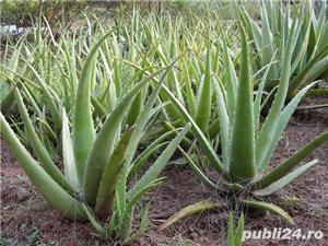 Aloe vera, barbadensis Miller de 2 Ani = 100 Lei oriunde in Romania prin Fan curier  - imagine 18