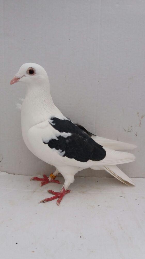 Porumbei voiajori - imagine 3