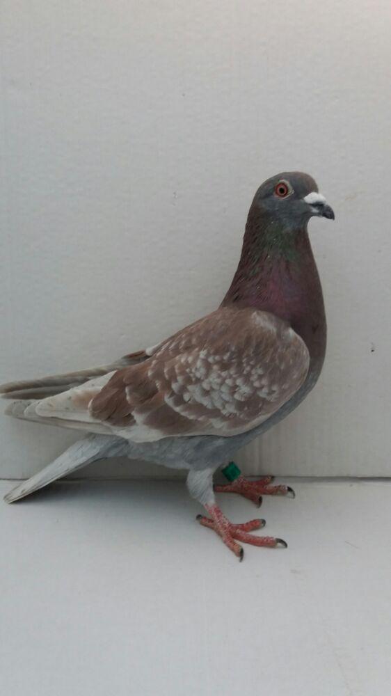Porumbei voiajori - imagine 7