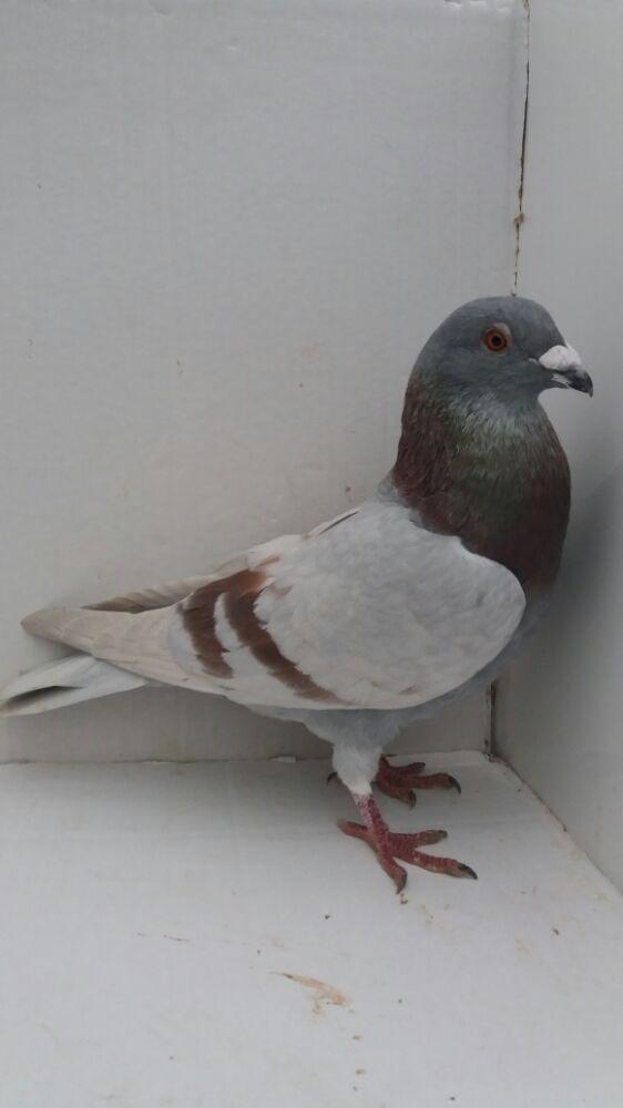 Porumbei voiajori - imagine 17