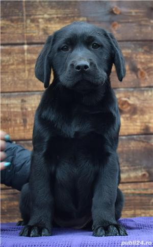 labrador cu pedigree - imagine 4