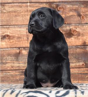 labrador cu pedigree - imagine 1