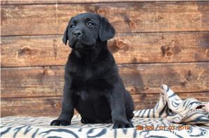 labrador cu pedigree - imagine 5