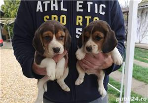 Pui de beagle tricolor si bicolor - imagine 7