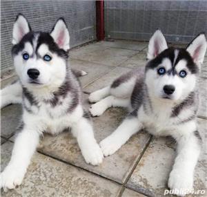 Husky Siberian, pedigree A - imagine 4