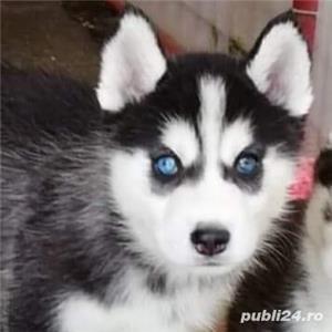 Husky Siberian, pedigree A - imagine 2