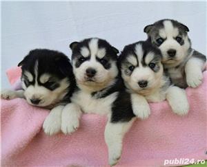 Husky Siberian, pedigree A - imagine 3