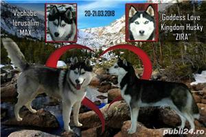 Husky Siberian, pedigree A - imagine 8