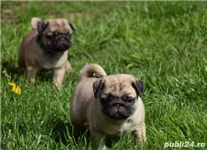 catei mops pug - imagine 1