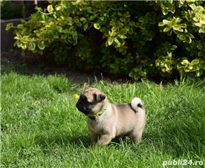 catei mops pug - imagine 2
