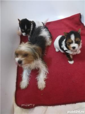 Fetita Yorkshire Terrier Biewer  - imagine 4