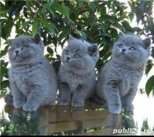 Pisicute british shorthair! - imagine 1