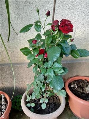Vand flori la ghiveci - imagine 6