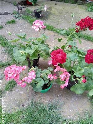 Vand flori la ghiveci - imagine 5