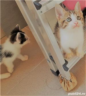 Adoptie pui de pisica - imagine 3