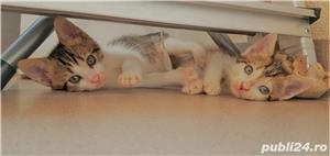 Adoptie pui de pisica - imagine 4