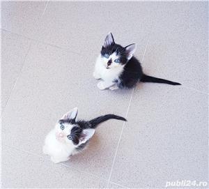Adoptie pui de pisica - imagine 1