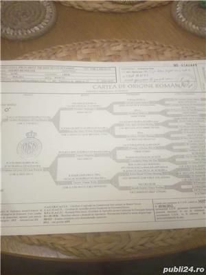 Pui Golden Retriever cu pedigree tip A - imagine 8