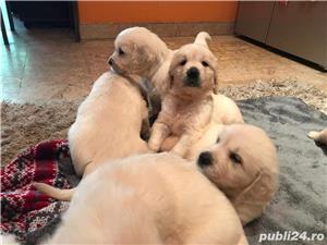 Pui Golden Retriever cu pedigree tip A - imagine 10