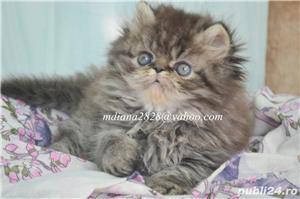 Pui persan Tabby Superb !!! - imagine 3