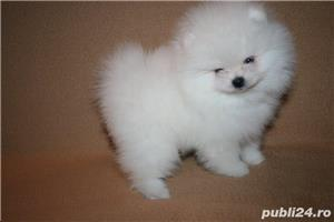 mini pomeranian boo - imagine 2