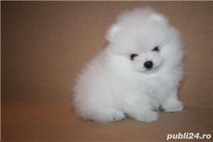 mini pomeranian boo - imagine 1