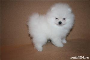 mini pomeranian boo - imagine 3