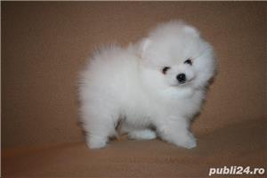 mini pomeranian boo - imagine 4