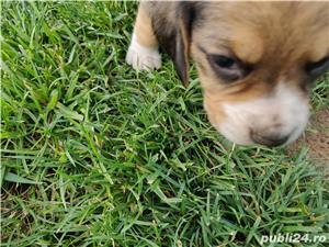 Pui Beagle - imagine 8
