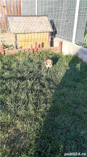Pui Beagle - imagine 6