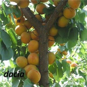 Vind pomi fructiferi 10LEIei-buc-neg- - imagine 11