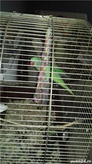 Vand papagal Marele Alexander - imagine 2