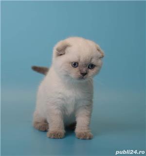 Feline british si scottish poze reale - imagine 9
