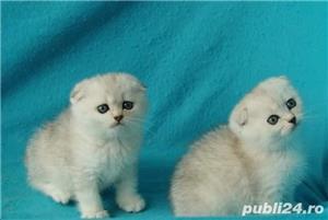 Feline british si scottish poze reale - imagine 4